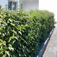 Prunus lusitanica 'Angustifolia' - Portugese laurierkers