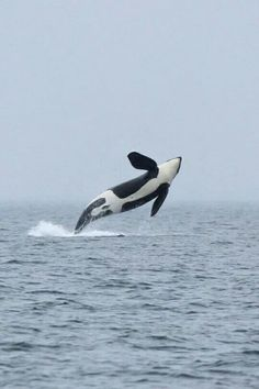 Orca catching some air!