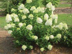 hortensia buske - Sök på Google