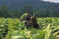 tobacco farming - gone