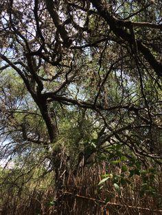 Árbol de Mezquite Comonfort, Gto.