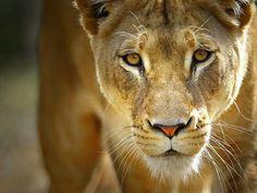 Preciosa y concentrada leona
