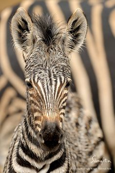 Young zebra enjoying the rain in Singita Tanzania. Primates, Mammals, Tier Fotos, Cute Baby Animals, Wild Animals, Field Guide, Zebras, Wildlife Photography, Animals Beautiful