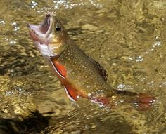 Great Smoky Mountains Brook Trout
