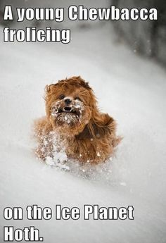 A young Chewbacca - Win Picture.  Cute little hairy puppy.