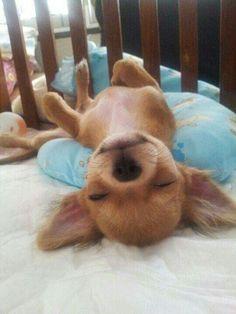 Chihuahua Love, Chihuahua Puppies, Cute Puppies, Cute Dogs, Dogs And Puppies, Doggies, Teacup Chihuahua, Beagle Dog, Cute Baby Animals
