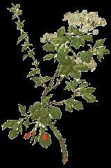 Hawthorn Berry for heart health