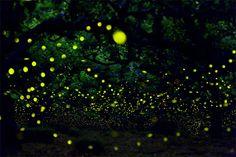 Longue exposition : des paysages japonais illuminés par le voyage des lucioles