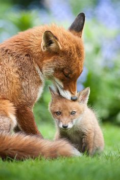 Mothering A young wild fox cub is groomed by his older sister (from a previous litter) by Lawrie Brailey Cute Wild Animals, Animals And Pets, Funny Animals, Animals Photos, Fox Pictures, Cute Animal Pictures, High Pictures, Beautiful Creatures, Animals Beautiful