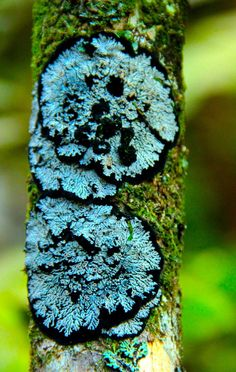 """darkling-faerie-witch: """"Types of trees with fungi, moss and lichen on them. (all credit goes to the owners of these photos) """" All Nature, Back To Nature, Amazing Nature, Science Nature, Patterns In Nature, Textures Patterns, Slime Mould, Plant Fungus, Mushroom Fungi"""