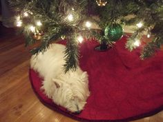 Christmas time-- my westie was my best Christmas gift ever!