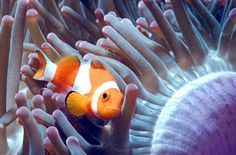 The clownfish is a type of fish that lives in salt water habitats. It is also called an Anemone fish. Clownfish are typically bright, orange fish that have 3 stripes. Clownfish can grow to be from 2 to 5 inches long the males tend to be significantly smaller than the females. However, there are various types of clownfish that range in colors from blue to yellow.
