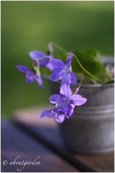 ABOUTGARDEN: I love Violet