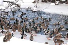 Guide to Public-Land Duck Hunting Veteran public-land waterfowlers share their secrets for finding great hunting
