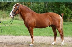 Finnhorse - stallion Jaime