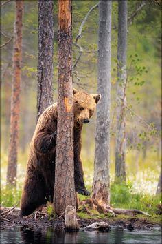 der Wächter by Georg Scharf / Animals Images, Nature Animals, Wild Animals, Bear Pictures, Tier Fotos, Cute Bears, Great Shots, Wildlife Art, Brown Bear