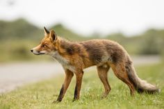 Red Fox by Mario Valkenborg on 500px