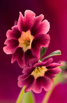 Primula, auricula - the lovliest primulas