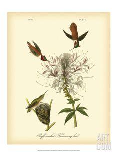 Ruff-neck Hummingbird Art Print by John James Audubon at Art.com