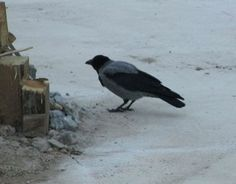 Hooded Crow, Corvus cornix