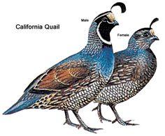 Upland Bird Hunting - Quail | Washington Department of Fish & Wildlife