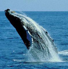 Humpback whale breaching, Hawaii