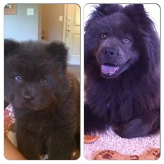Blue Chow Chow. My Diesel as a baby and now almost 5 years old!