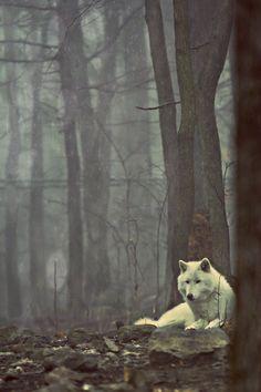 Ein majestätischer Wolf in seiner natürlichen Umgebung.