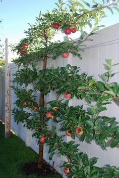 Apple espalier - Fuji apple on the right and a Gala on the left, cross-pollinators. I put one of these in my back yard this year. We'll see how it goes!