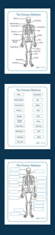 These handy worksheets / worksheet help your students to learn, memorise and label the human skeleton. Human Body Bones, Human Body Unit, Human Body Systems, Science Lessons, Teaching Science, Science Projects, Science Experiments, Human Skeleton, Skeleton Muscles