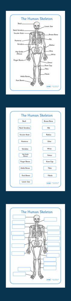 Human Skeleton Labelling Sheets. Free Printable. KS2
