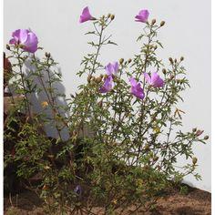 Alyogyne huegelli 'Santa Cruz' (Hibiscus h.)