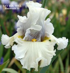 IRIS SAY YOU WILL by Baumunk, tall bearded iris at Stout Gardens.