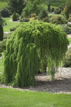 Rich's Foxwillow Pines Nursery, Inc. - Larix kaempferi – 'Pendula' Weeping Japanese Larch