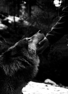 wolf / wolflion