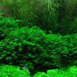 Tropica Tissue-Cultured Aquarium Plants