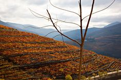 Vineyards that produce port wine in the Douro valley in Portugal