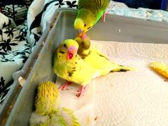 Baby budgies with attitude.