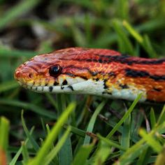 Pantera by Abbey Gatto - Animals Reptiles ( reptiles, animals, nature, pantherophis guttatus, okeetee corn snake, snakes, corn snake )