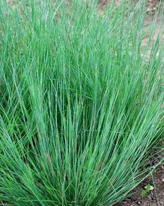 "Schizachyrium scoparium 'Carousel'.  Copper-pink-beige-mahogany in fall. 30"" tall.  Upright in winter."