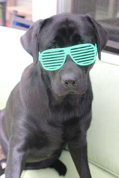Hank the Labrador Retriever