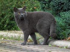 Listado de Razas de Perros y Gatos. Todos los tipos...: Raza de Gato Chartreux (Cartujo)