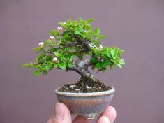 Bonsai Plants, Bonsai Garden, Garden Trees, Succulents Garden, Planting Flowers, Bonsai Trees, Bonsai Mame, Animal Vegetable Mineral, Terraria Tips