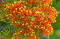 Firewheel-en-masse_DSC8384 | These flowers are almost in ful… | Flickr - Photo Sharing!