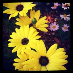 Yellow Daisies in Maine ~sms 06/13~