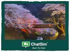 Mirumi K. from Tokyo: The breathless sight of the cherry blossom trees. Shared with ChatSim. App used: Messenger - Credit used: 15 (photo size 150 KB)