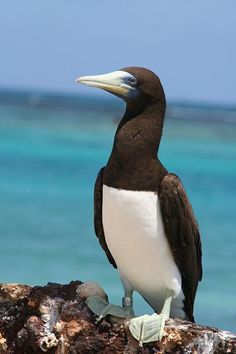 Brown Booby - frequently seen off the main islands, nests on Moku Manu off Oahu.