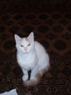 76ba6cf37adf78 Turkish van kittens pa – Popular breeds of cats in USA