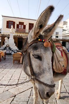 Hydra, Greece | by Giorgos~ Farm Animals, Cute Animals, Wild Animals, The Donkey, Mini Donkey, Greece Islands, Greece Travel, Zebras, Santorini