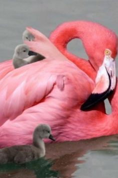 Amazing wildlife - Pink Flamingo photo #flamingos